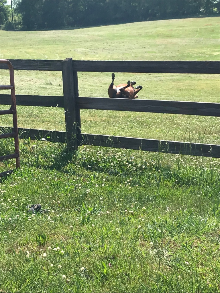 Gemmie enjoyed rolling in the freshly mowed pasture after her breakfast